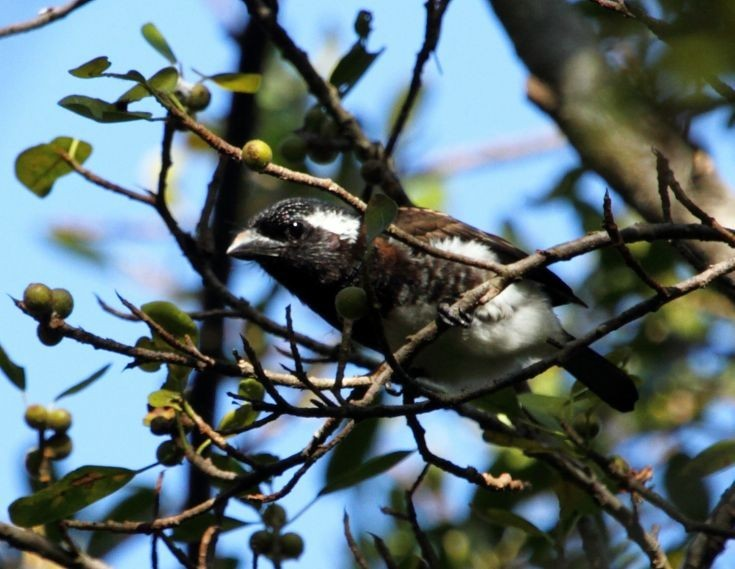 Image of White-eared Barbet
