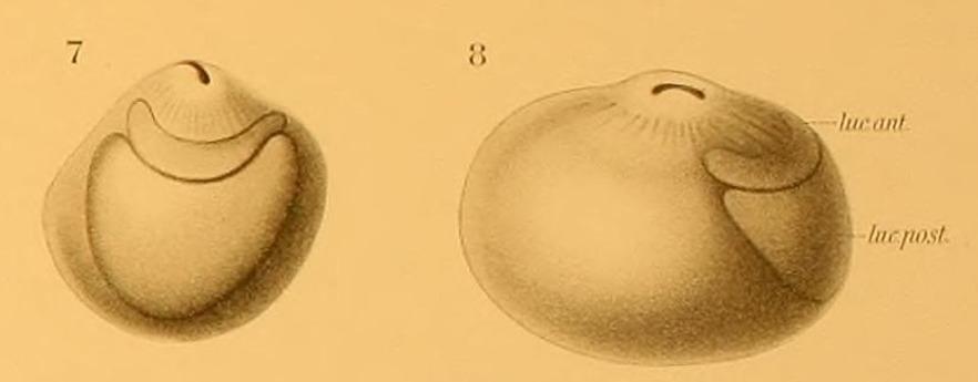 Image of Teuthowenia Chun 1910