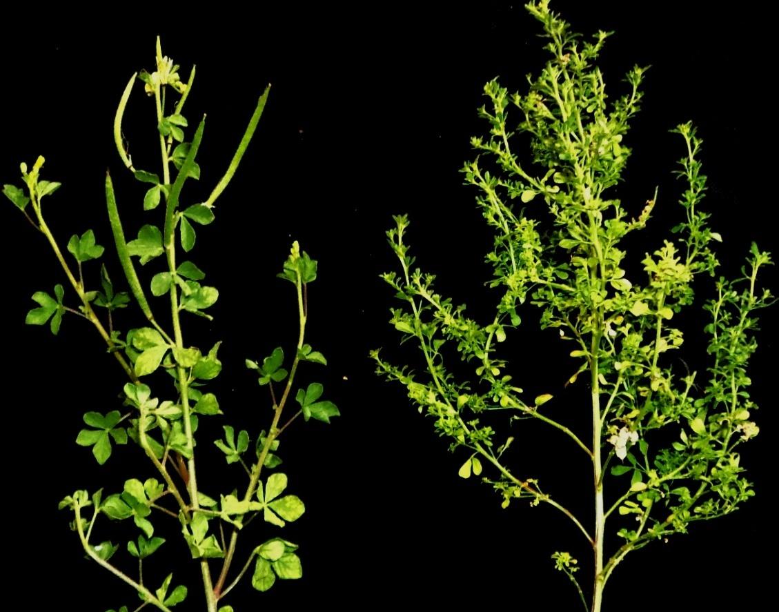 Image of Phytoplasma