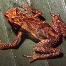 Image of <i>Dendrophryniscus berthalutzae</i> Izecksohn 1994