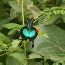 Image of Malabar Banded Peacock