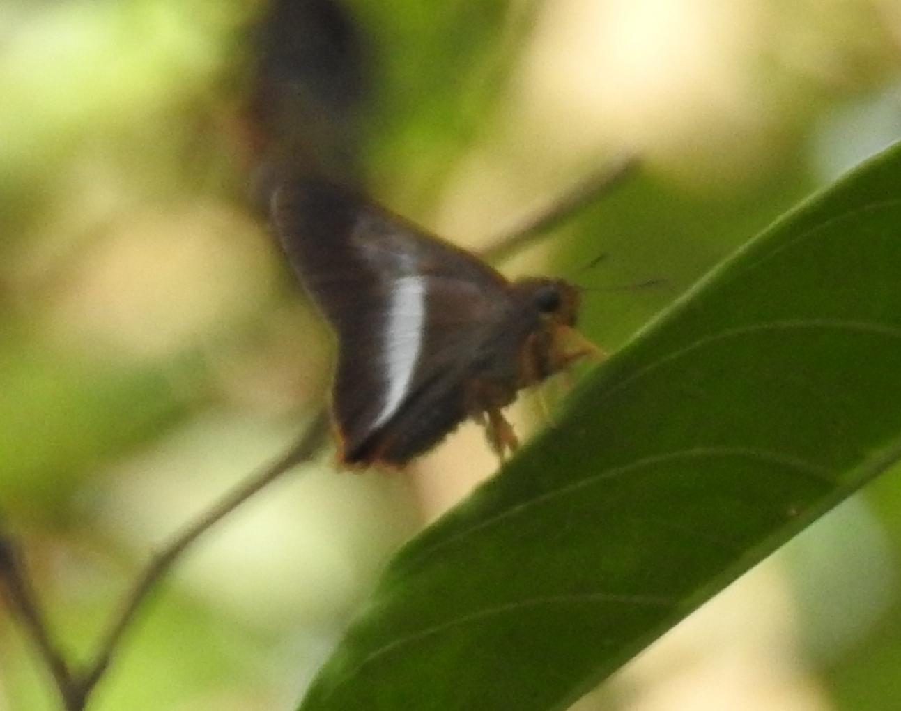 Image of <i>Bibasis sena</i> Moore 1865