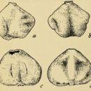 Image of Sacculinidae