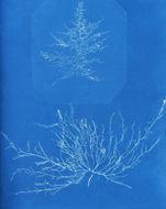Image of <i>Nemalion elminthoides</i> (Velley) Batters 1902