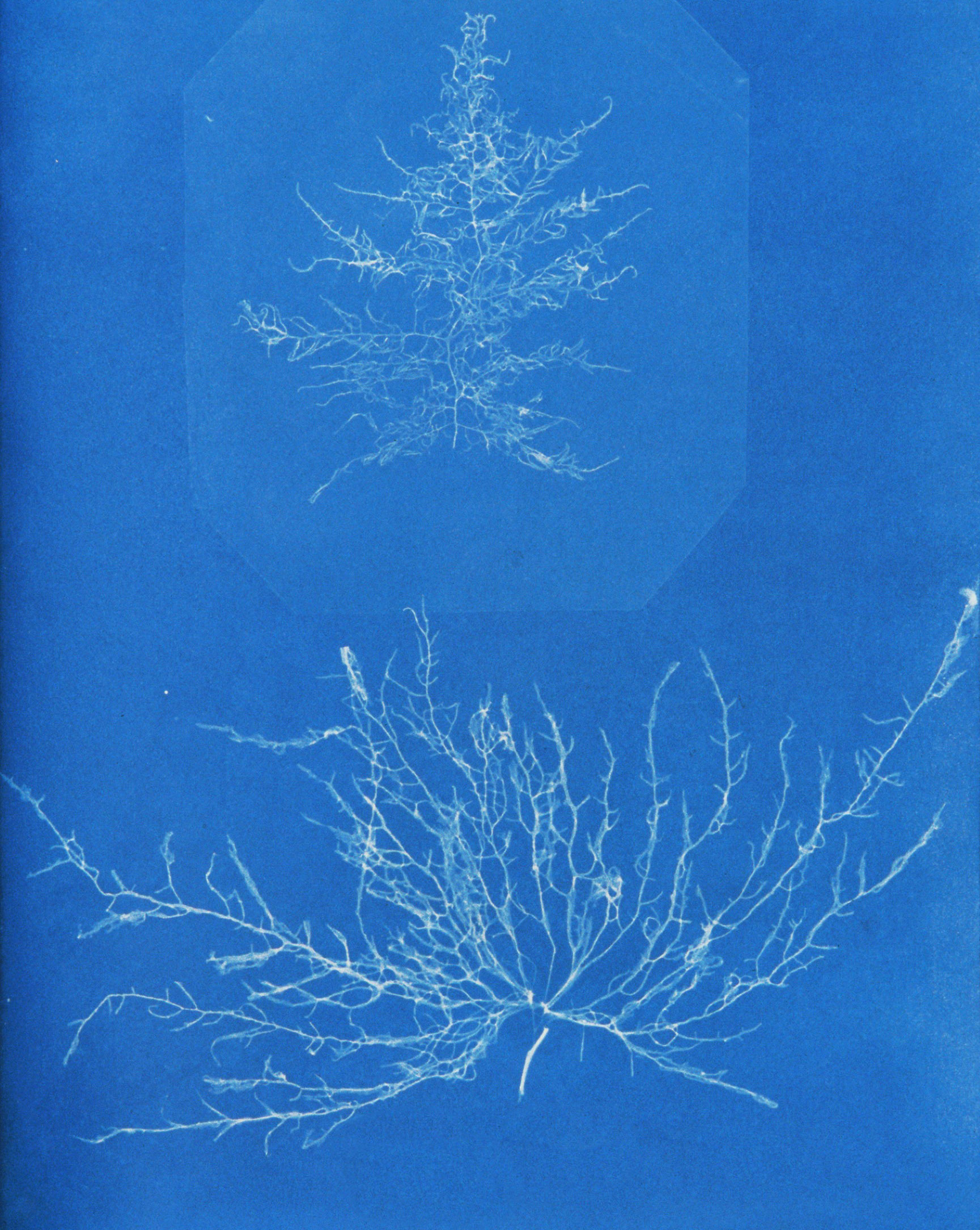 Image of <i>Nemalion elminthoides</i> (Velley) Batters 1902