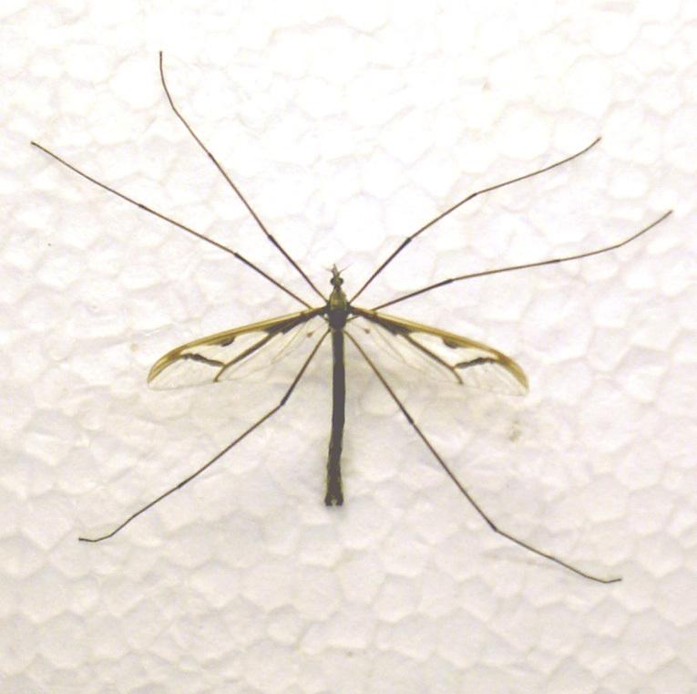 Image of <i><i>Pedicia</i></i> (Pedicia) <i>rivosa</i> (Linnaeus 1758)