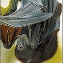 Image of Bougainville Monkey-faced Bat
