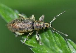 Image of <i>Phyllobius</i> (<i>Dieletus</i>) <i>argentatus</i> Linnaeus 1758