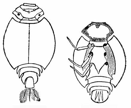Image of common burrower mayflies