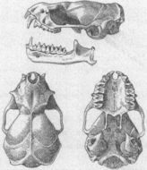 Image of Mormopterus