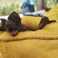 Image of mastiff bat