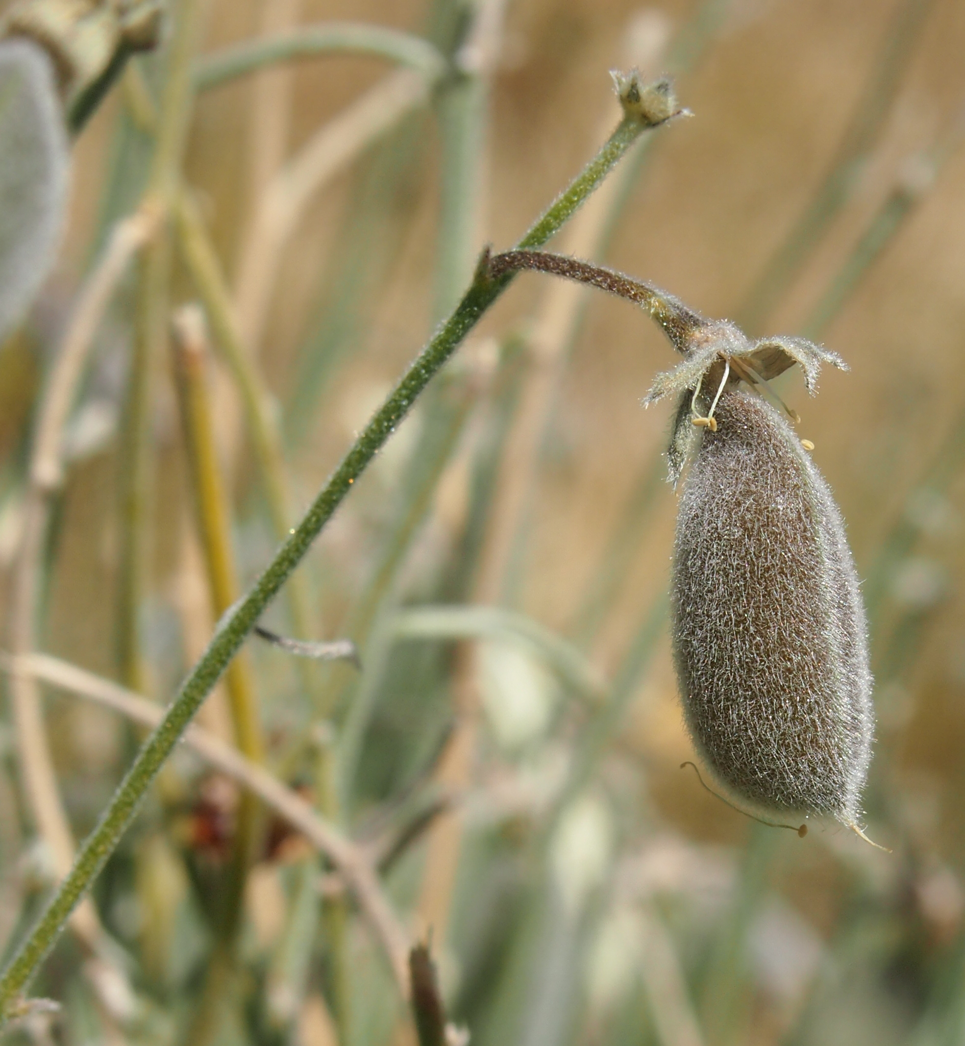Image of Isotropis
