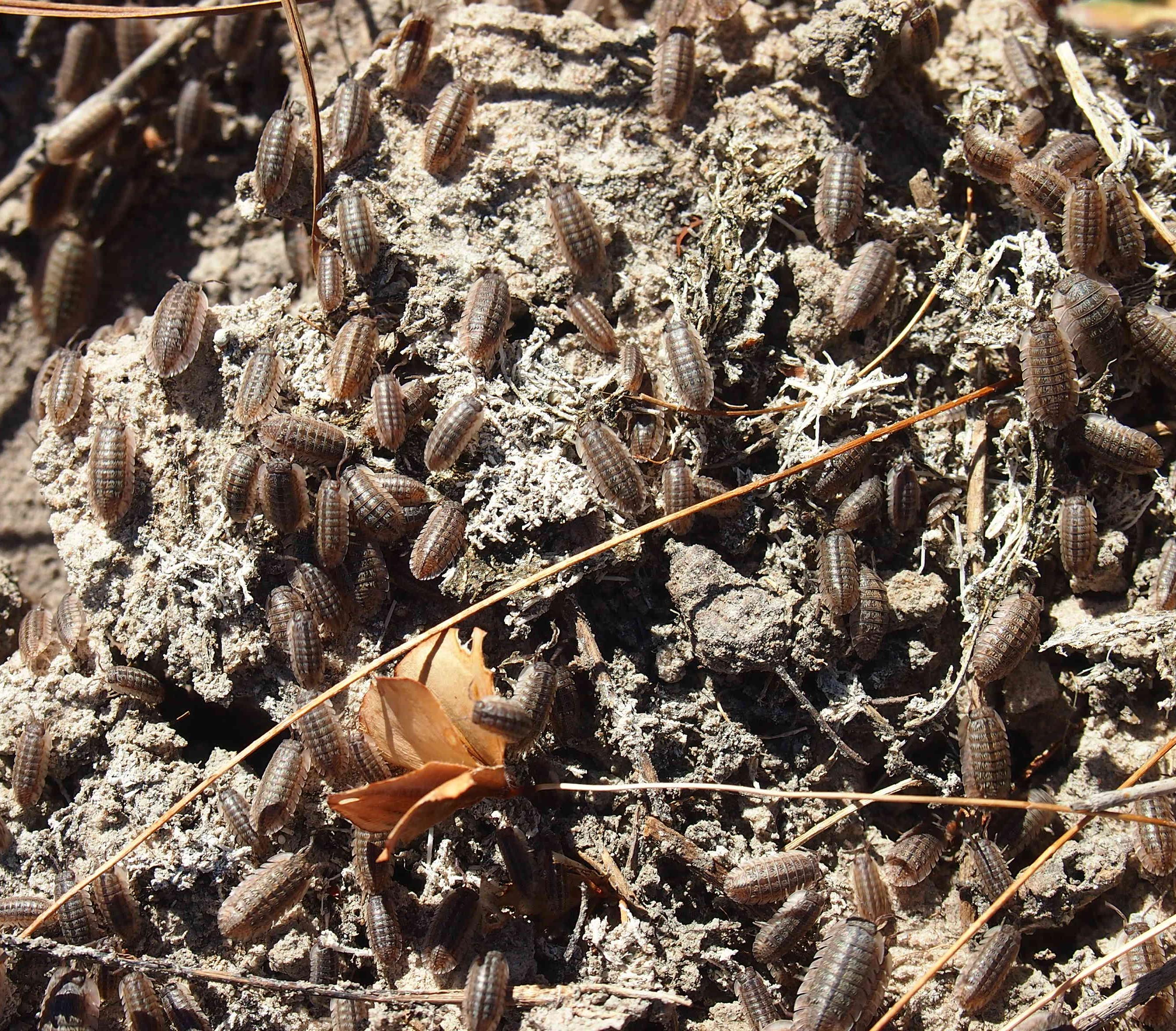 Image of Armadillidae