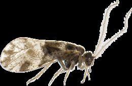 Image of <i>Loensia fasciata</i> (Fabricius & J. C. 1787)