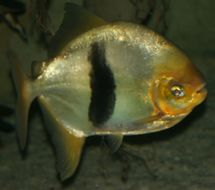 Image of Disk tetra