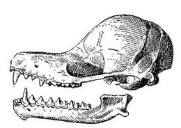 Image of funnel-eared bat