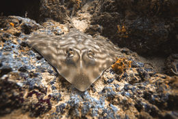 Image of Southern Banded Guitarfish