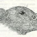 Image of Dobson's Tube-nosed Bat