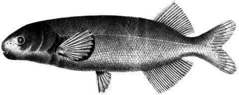 Image of <i>Heteromormyrus pauciradiatus</i> (Steindachner 1866)