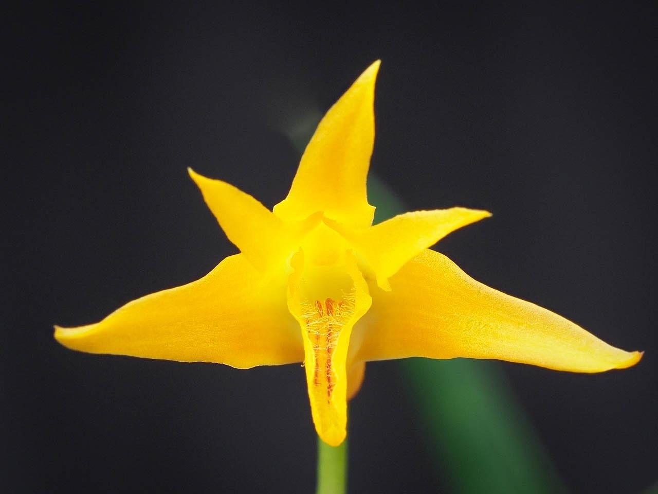 Image of <i>Bifrenaria aureofulva</i> Lindl.