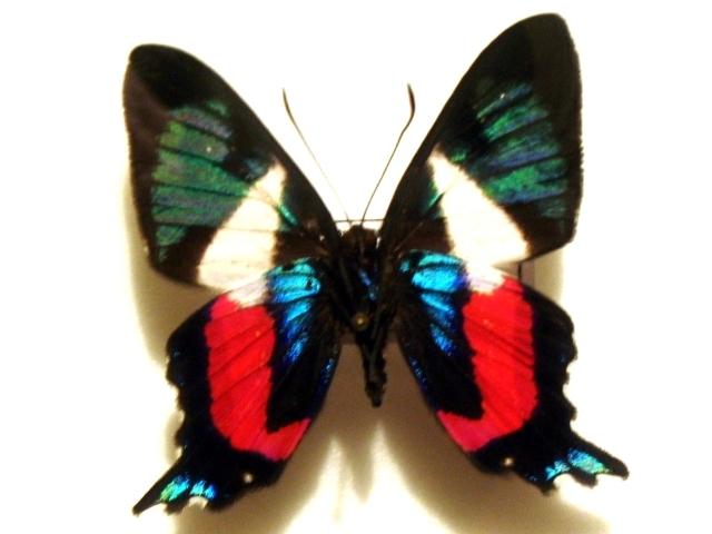 Image of <i>Ancyluris formosissima</i> Hewitson 1870