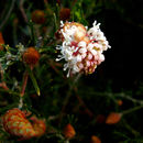 Image of <i>Grevillea crithmifolia</i> R. Br.