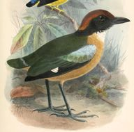 Image of Black-faced Pitta