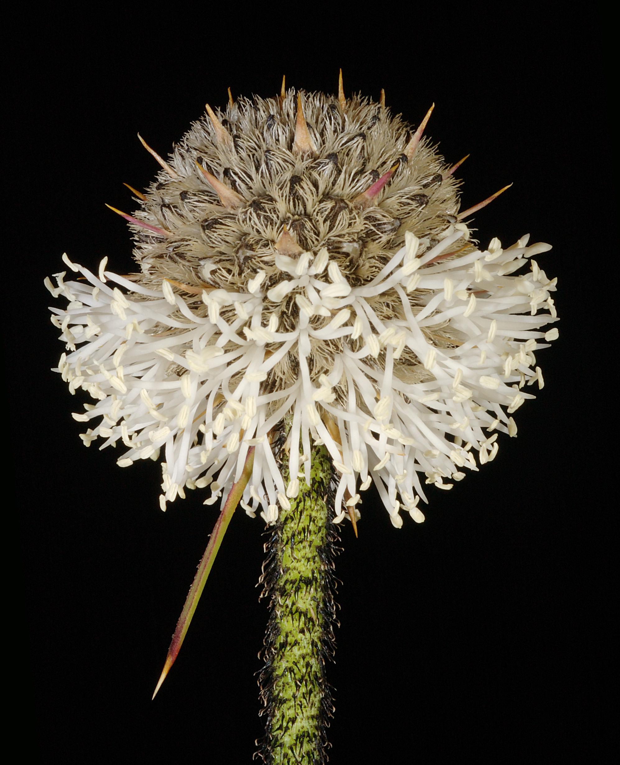 Image of Dasypogonaceae