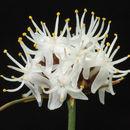 Image of Boryaceae