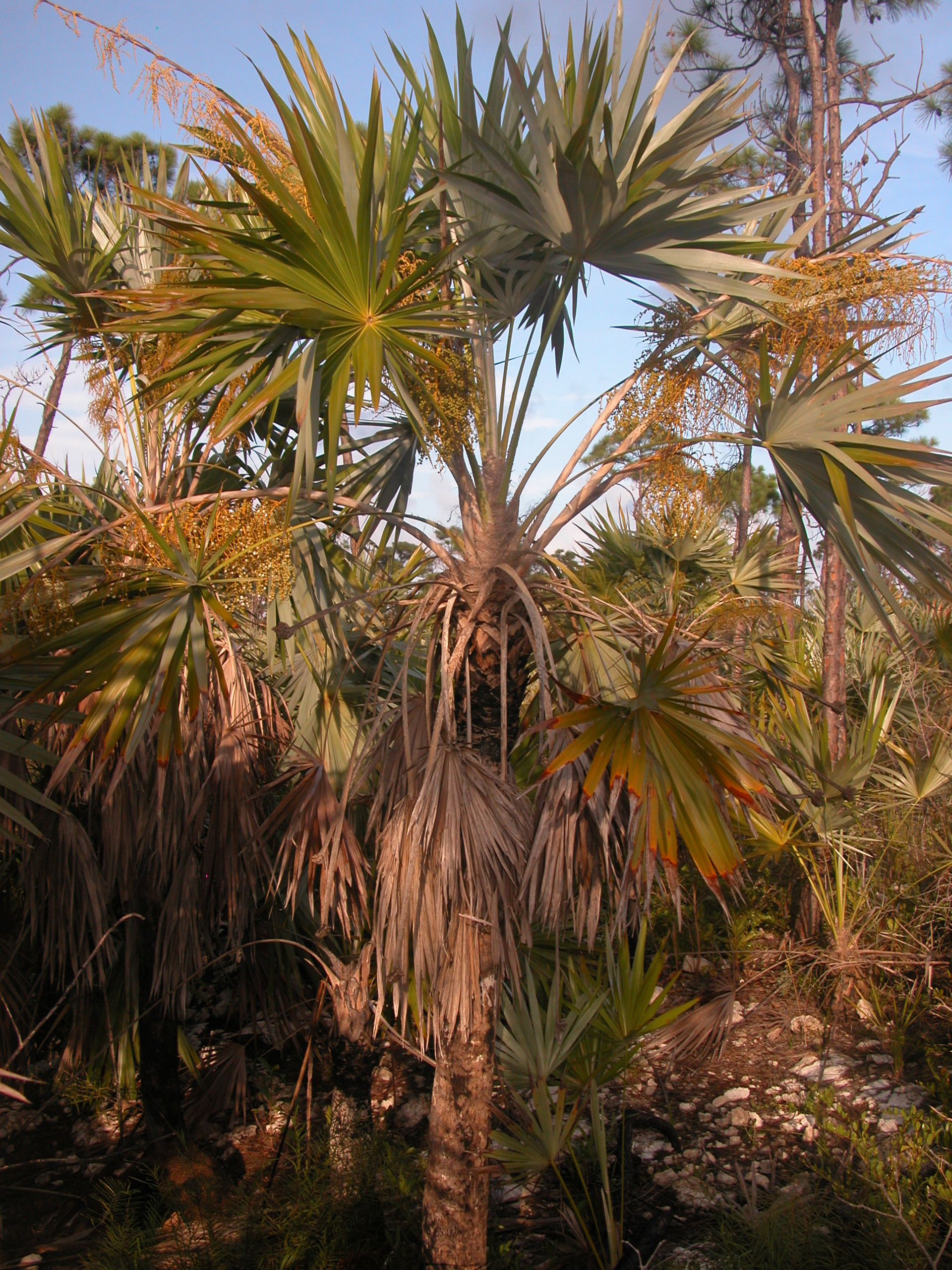 Image of Brittle Thatch Palm