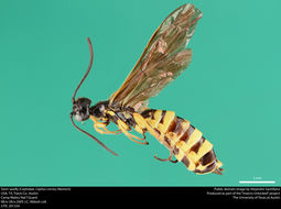 Image of Wheat Stem Sawfly