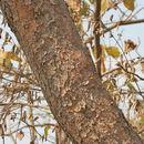 Image of <i>Boswellia serrata</i> Roxb. ex Colebr.