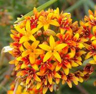Image of <i>Quinchamalium chilense</i> Molina