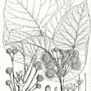 Image of <i>Adina cordifolia</i> (Roxb.) Brandis