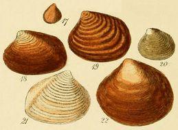 Image of <i>Astarte elliptica</i> (Brown 1827)