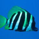 Image of Striped boarfish