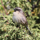 Image of Black-throated Accentor