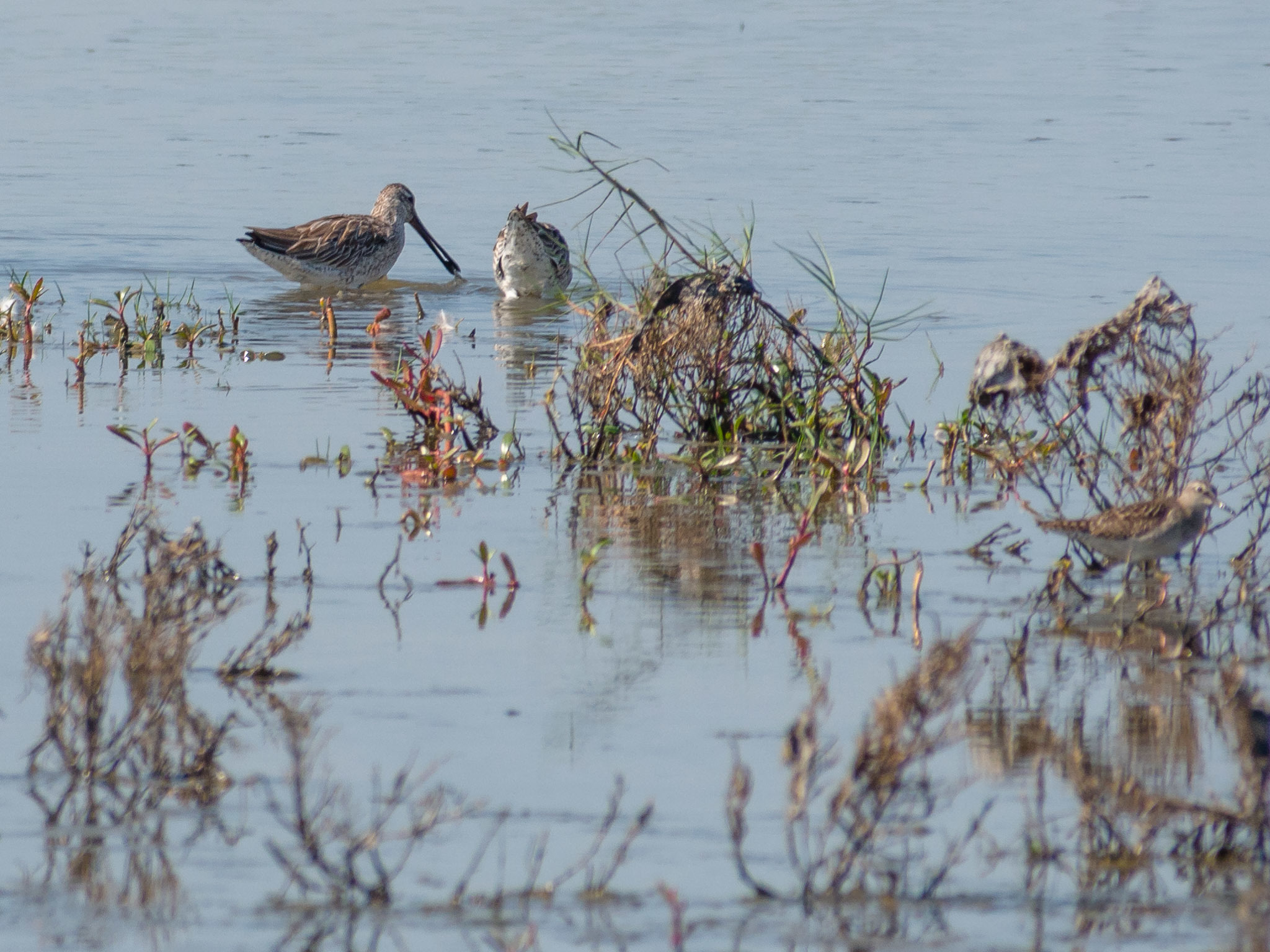 Image of Asian Dowitcher