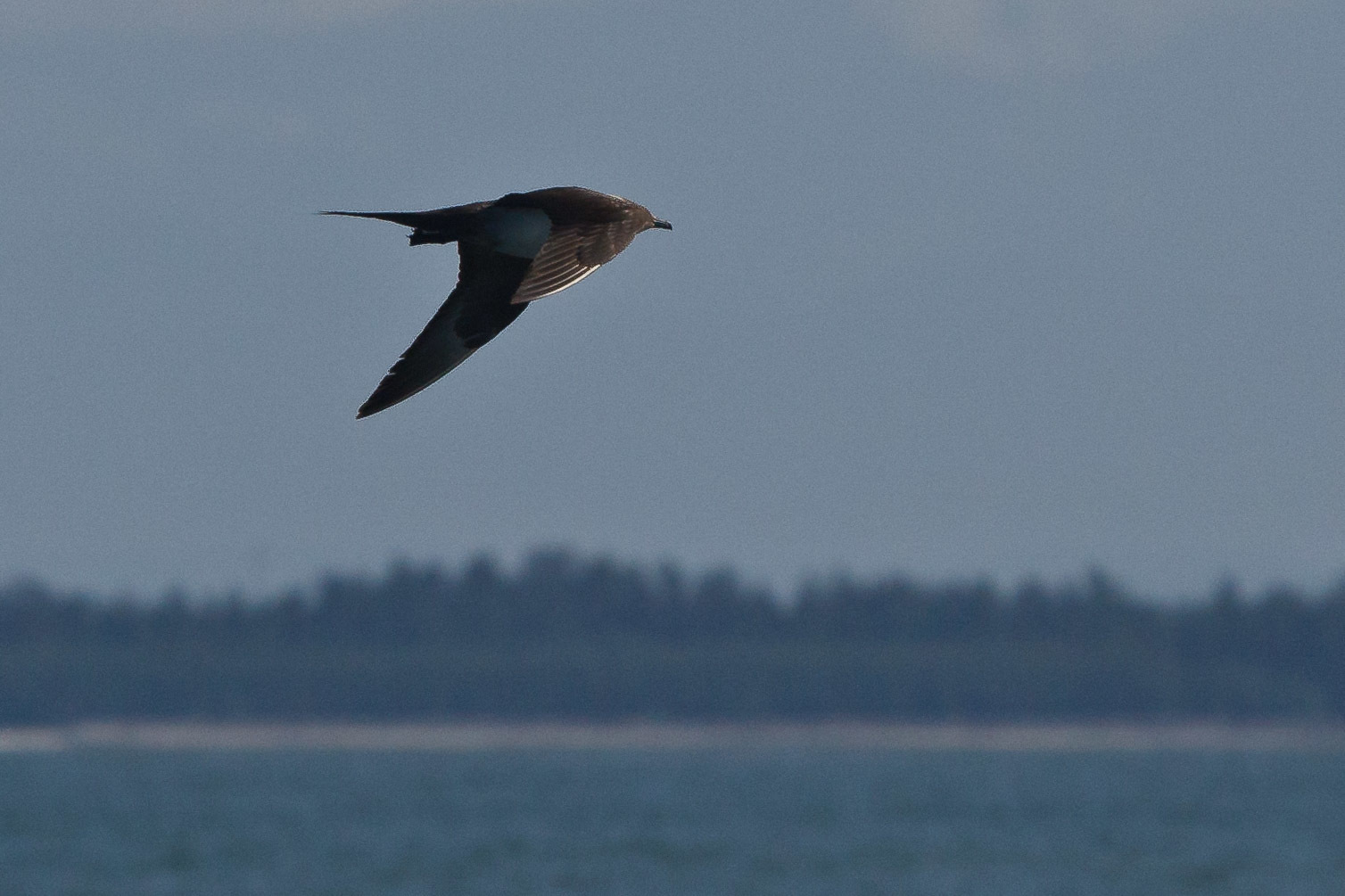 Image of Great skua