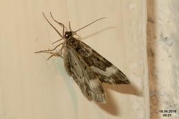 Image of <i>Euphyia unangulata</i> Haworth 1809