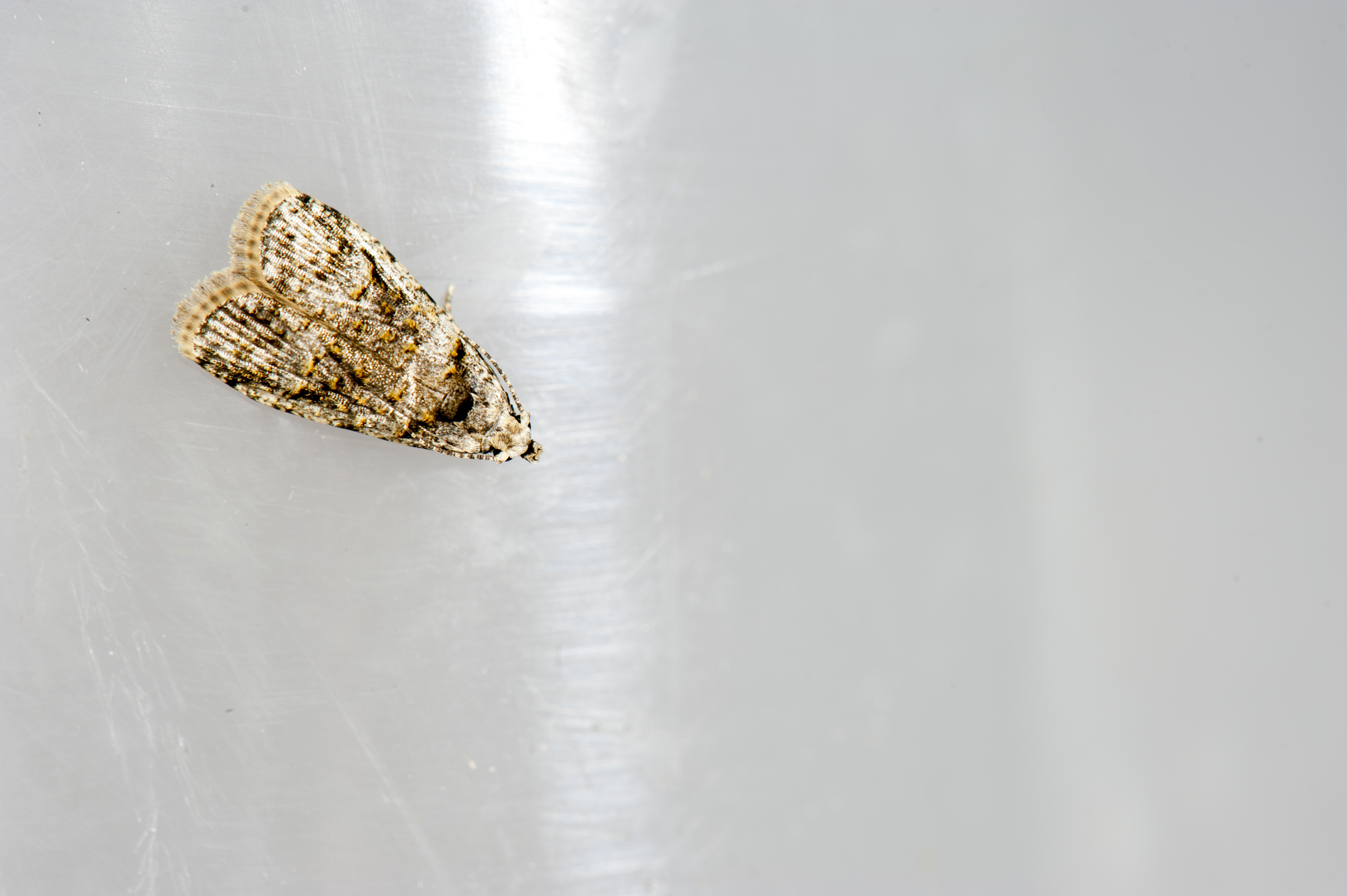 Image of tropical fruitworm moths
