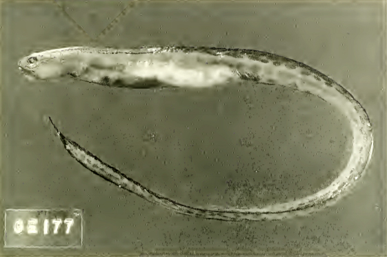 Image of Pholidichthys