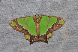 Image of <i>Agathia rubrilineata</i> Warren 1896