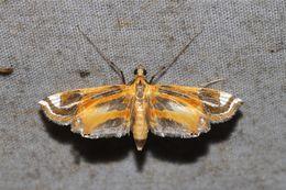 Image of Eoophyla