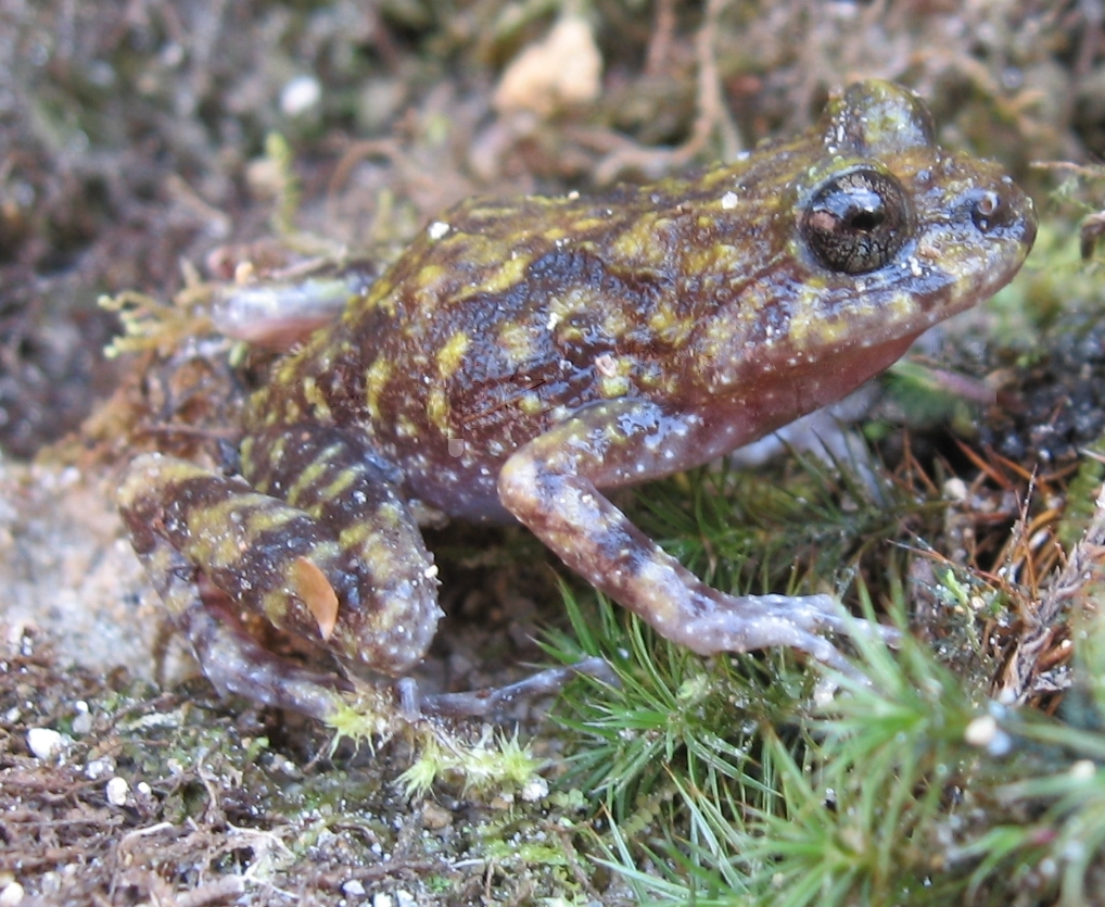 Image of <i>Cycloramphus eleutherodactylus</i> (Miranda-Ribeiro 1920)