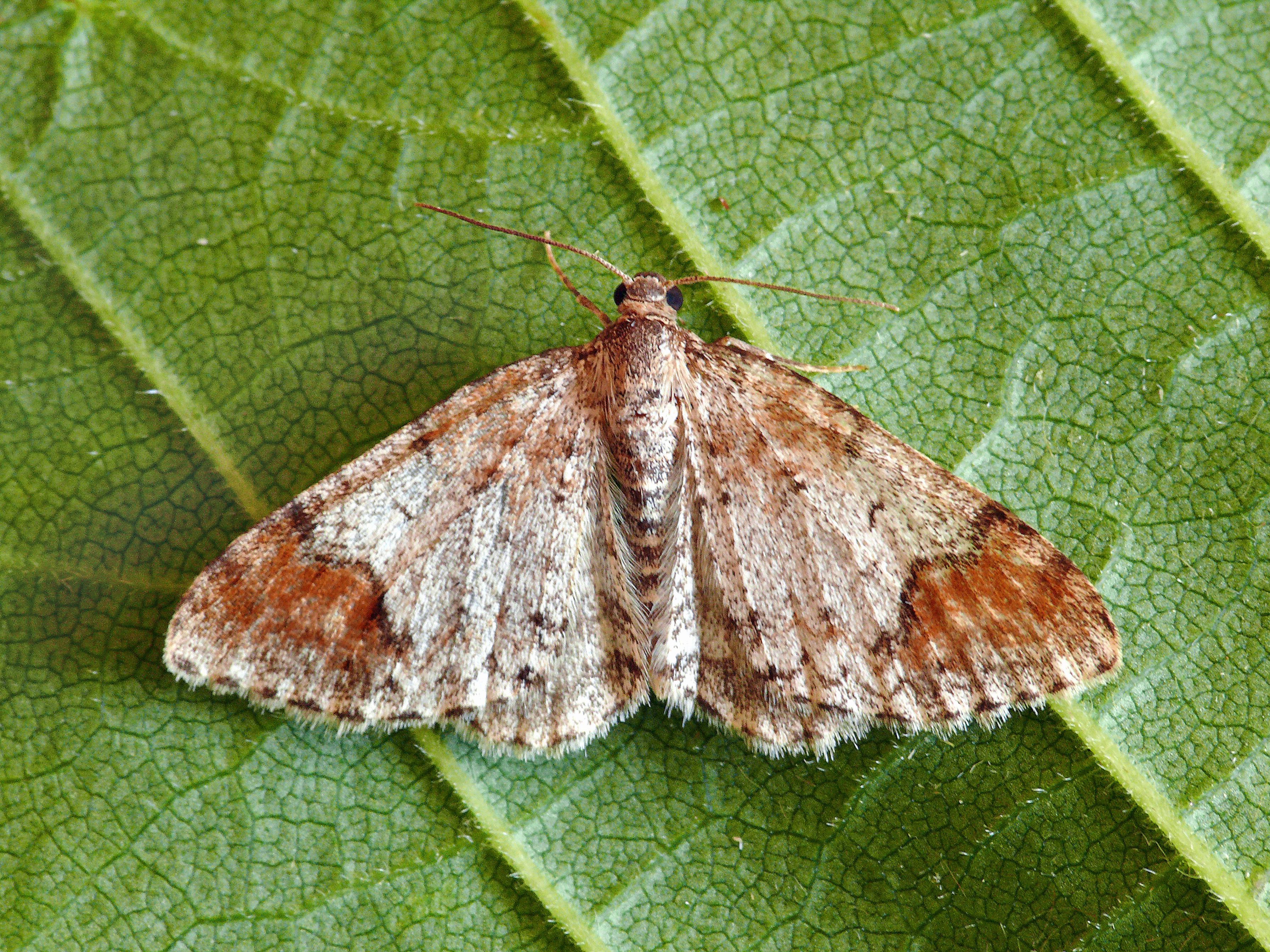 Image of Blomer's Rivulet