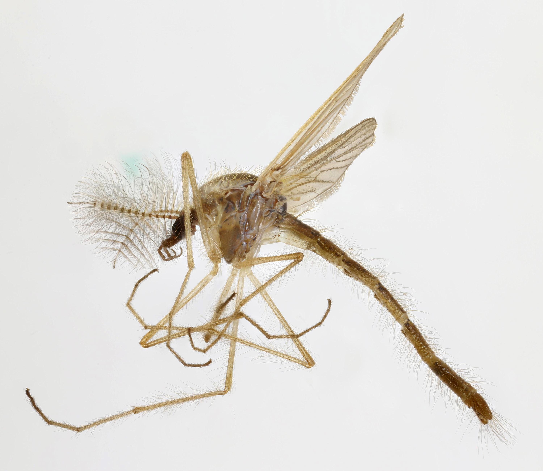 Image of <i>Chaoborus flavicans</i> (Meigen 1830)