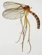 Image of <i>Symmerus annulatus</i>