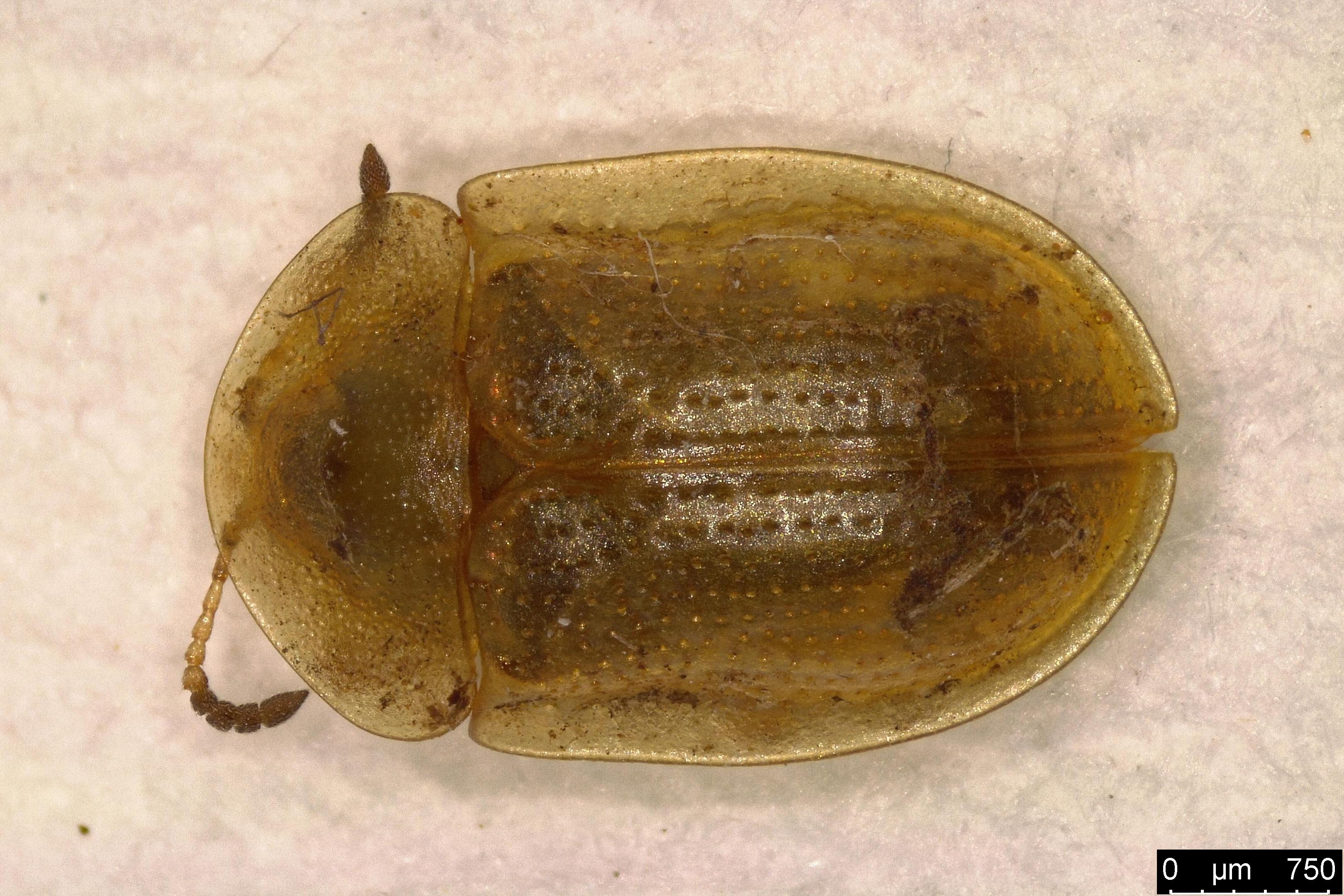 Image of Pale Tortoise Beetle