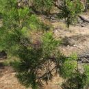 Image of Mallee Pine